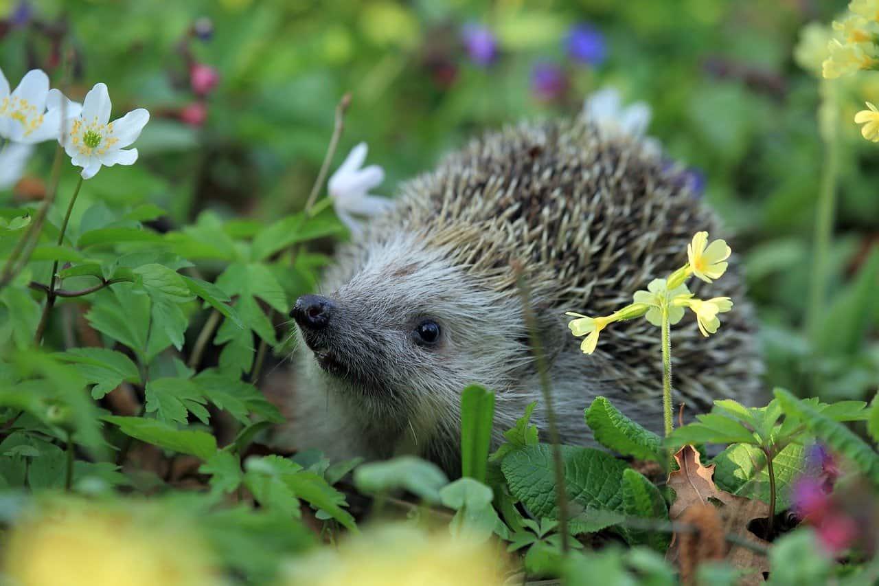 Hedgehog in garden